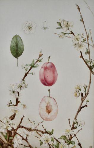 Edward Julius Detmold - Plum - watercolour