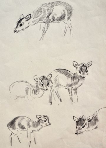 Eileen Soper - Muntjac - pencil drawing