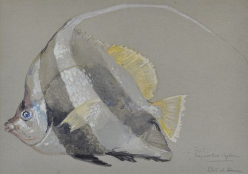 De Courcy Lewthwaite Dewar - Bannerfish - watercolour