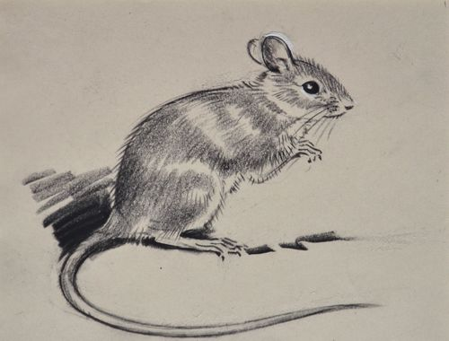 Eileen Soper - Yellow Necked Mouse - Pencil drawing