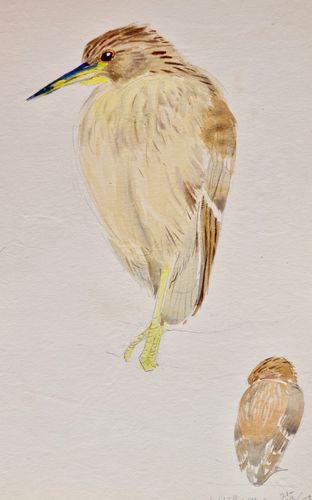 Eileen Soper - Night Heron - watercolour
