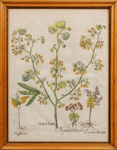 Botanical Study by Basililus Besler